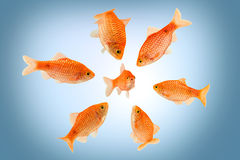 Fish mobbing Royalty Free Stock Image