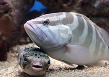 Fish on My Head. Two fish buddies, a grouper and puffer fish, enjoy each other's company stock image