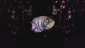 Fish named Cara-acu, astronotus crassipinnis. Fish with irregular vertical dark spots and a large ocellar spot on the upper part of the fin Stock Image