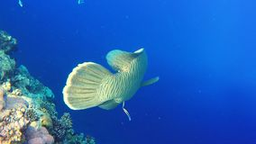 Napoleon fish on coral reef, underwater video on Red sea. Fish - Napoleon swims along an amazing coral reef lit by the bright sun. Underwater video in the red stock video