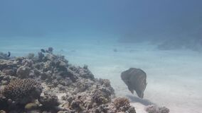 Fish Napoleon swims around a coral reef stock video footage