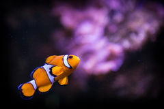Fish nemo Stock Image