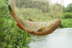 Fish in net Royalty Free Stock Images