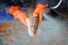 Fish in the net Stock Photos