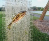 Fish in the net Royalty Free Stock Photo