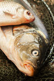 Fish on net basket . Article about fishing. Royalty Free Stock Photography