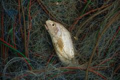 Fish on the net. Fish on the fishing net stock image