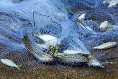 Fish in net ,Fishing net . Royalty Free Stock Photos