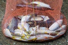 Fish in net ,Fishing net . Stock Image