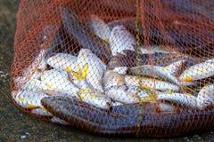 Fish in net ,Fishing net . Stock Photos