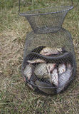 Fish in a net Outdoors Royalty Free Stock Photo