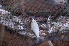 Fish. In net trapped's erman Royalty Free Stock Photos