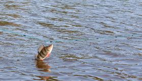 Fish in networks of poachers. The fish in the nets of poachers. Freshwater perch caught in fishing nets stock image