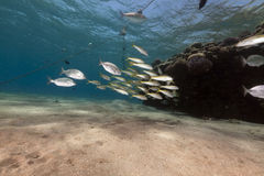Fish and ocean in the Red Sea. Stock Photos