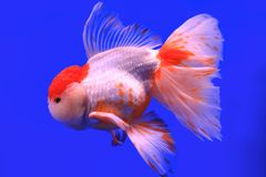 Fish. One fish in the fish globe Royalty Free Stock Photos