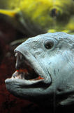 Fish with open mouth. A fish swimming with an open mouth Royalty Free Stock Photography