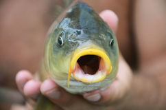 Fish with open mouth. River fish close-up with mouth open in human hands Stock Photos