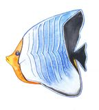 Fish orange face white and blue stripes with a black tail. Fish with an orange face, blue-white horizontal stripe and a black spot and tail Royalty Free Stock Photos