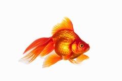 Fish. Orange Gold Fish Isolated on White Background Stock Images