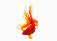 Fish. Orange Gold Fish Isolated on White Background Stock Photo