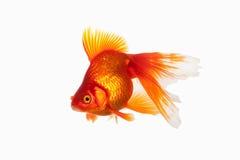 Fish. Orange Gold Fish Isolated on White Background Stock Photos