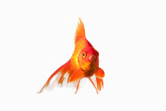 Fish. Orange Gold Fish Isolated on White Background Stock Photography