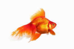 Fish. Orange Gold Fish Isolated on White Background Stock Images