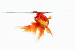 Fish. Orange Gold Fish Isolated on White Background Royalty Free Stock Photography