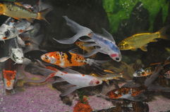 Fish. Orange and White Fish Stock Photo
