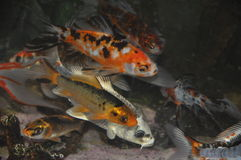 Fish. Orange and White Fish royalty free stock photography