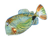 Fish ornament orange blue stripes and a black spot. Bright orange fish with blue stripes all over the body, face, fins and tail floats to the left Royalty Free Stock Images