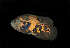 Fish, Oscar (Astronotus ocellatus) Stock Photos
