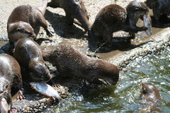 Fish-otter Royalty Free Stock Photo