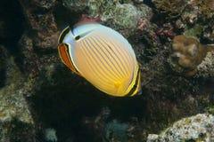 Fish oval butterflyfish Chaetodon lunulatus Stock Photos