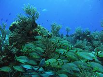 Fish over Coral reef. School of Grunts and Cottonwicks over a reef in the Caribbean Sea off Cozumel Stock Photo