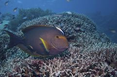 Fish over Coral reef, australia Royalty Free Stock Photography