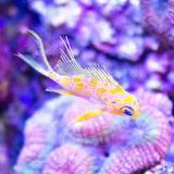 Fish over corals. Borbonius Anthias over Lobophyllia coral Royalty Free Stock Photography