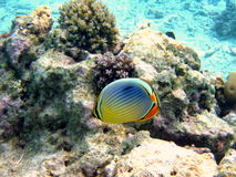 Fish : Pacific Red-Fin Butterfly. A little and coloured Pacific Red-Fin Butterfly from maldivian coral reef Royalty Free Stock Photo