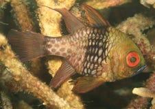 Fish - Pajama cardinalfish Royalty Free Stock Images