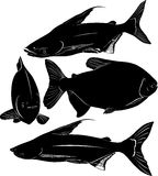 Fish Pangasius and Colossoma Royalty Free Stock Image