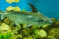 Fish Pangasius hypophthalmus Stock Images