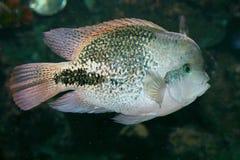 Fish (Paratheraps synspilum) Stock Photo