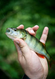 Fish perch. In a man's hand Royalty Free Stock Photos