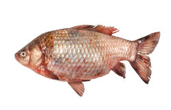 Fish the perch. The fish the perch lays on a table Stock Image
