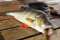 Fish perch. A perch freshly fished in a sunny day stock image