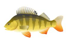 Fish perch. Big realistic european freshwater fish perch, isolated Stock Photography