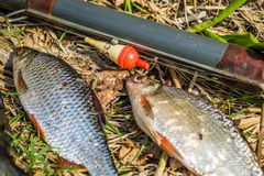 fish perch and bream with fishing tackle Royalty Free Stock Images