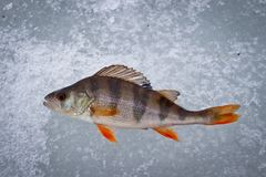 Fish perch caught on winter tackle on ice stock photo