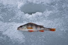 Fish perch caught on winter tackle on ice stock photography