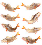 Fish perch collection Royalty Free Stock Images